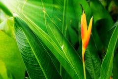 HELICONIA PSITTACORUM ou pássaro amarelo da flor de paraíso e da alguma água deixam cair no jardim tropical do verde da área após Fotos de Stock Royalty Free