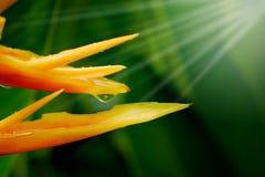 HELICONIA PSITTACORUM ou pássaro amarelo da flor de paraíso e da alguma água deixam cair no jardim tropical do verde da área após Imagens de Stock Royalty Free