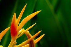 HELICONIA PSITTACORUM ou pássaro amarelo da flor de paraíso e da alguma água deixam cair no jardim tropical do verde da área após Fotografia de Stock