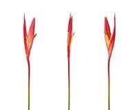 Heliconia psittacorum ` s belfra ` Lady Di Papuzi ` kwitnie, Tropikalni kwiaty odizolowywający na białym tle Fotografia Stock