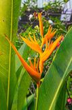 Heliconia psittacorum tropical Flower Stock Images