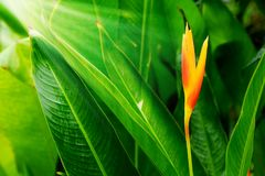 HELICONIA PSITTACORUM or yellow bird of paradise flower and some water drop in tropical area green garden after rain background. Have some space for wording royalty free stock photos