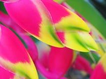 Heliconia ptak raju kwiat Zdjęcia Stock