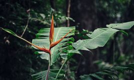 Heliconia in the rain forest. Recorded in Panama Royalty Free Stock Photography