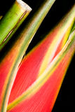 Heliconia red flower macro Stock Photo