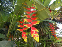 Heliconia red yellow flowers Royalty Free Stock Photos