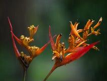 Heliconia in regen royalty-vrije stock afbeelding