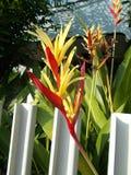Heliconia rode geel royalty-vrije stock afbeeldingen