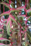 Heliconia rosado Imagen de archivo