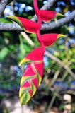 Heliconia rostrata Stock Images