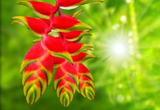 Heliconia rostrata. Heliconia rostrata also known as Hanging Lobster Claw or False Bird of Paradise. This plant, however, has downward-facing flowers, the Stock Image