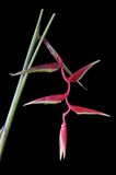 Heliconia Rostrata on black Royalty Free Stock Photo