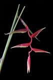 Heliconia Rostrata en negro foto de archivo libre de regalías