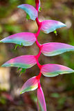 Heliconia rostrata in the garden Stock Images