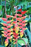 Heliconia-rostrata Hummer Clawn Sri Lanka Stockfotografie