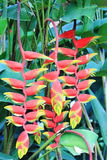 Heliconia rostrata Lobster Clawn Sri Lanka. Heliconia rostrata Lobster Clawn Plant Sri Lanka Stock Photography