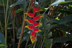 Heliconia rostrata Parrots Beak tropical flower. Heloconia rostrata, Heliconia psittacorum Parrots Beak tropical flower in a park on the Sunshine Coast Australia Stock Photo