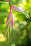 Heliconia rostrata 'Sexy Pink' ginger flower Royalty Free Stock Photo