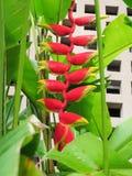 Heliconia rostrataväxt Royaltyfria Bilder