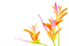 Heliconia 'Sassy'. Pink Heliconia flower, Heliconia psittacorum 'Sassy', tropical flower isolated on a white background Royalty Free Stock Image