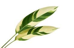 Heliconia schakeerde gebladerte, Exotisch tropisch die blad op witte achtergrond, met het knippen van weg wordt geïsoleerd stock fotografie