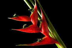 Heliconia stricta still life on black background Royalty Free Stock Photos
