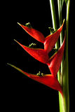 Heliconia stricta still life on black background Stock Images
