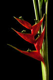 Heliconia stricta still life on black background Royalty Free Stock Image