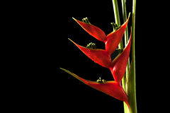 Heliconia stricta still life on black background Stock Photo