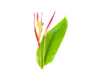 Heliconia : Thai flower isolaeted. Heliconia and leaf  isolated on white background Royalty Free Stock Images