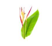 Heliconia: Thailändische Blume isolaeted Lizenzfreie Stockbilder