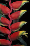 Heliconia, Trinidad. Royalty Free Stock Photo