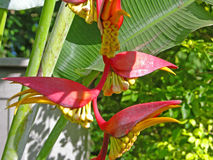 Heliconia, tropical flower Asia Stock Photos