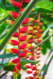 Heliconia tropical flower in asian park Royalty Free Stock Images