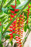 Heliconia tropical flower in asian park Stock Image