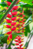 Heliconia tropical flower in asian park Stock Photo