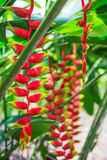 Heliconia tropical flower in asian park Stock Photos