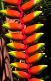 Heliconia, tropical flower Stock Image