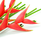 Heliconia Royalty Free Stock Photo