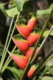 Heliconia tropisk växt Royaltyfria Foton