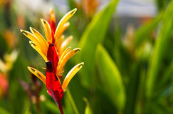 Heliconia under sun Stock Photos