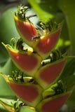 Heliconia växt i Costa Rica arkivfoto