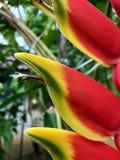 Heliconia växt som ses i detalj arkivfoton