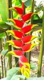 Heliconia vermelho e amarelo tropical Imagem de Stock Royalty Free