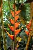 Heliconia Wagneriana Photos libres de droits