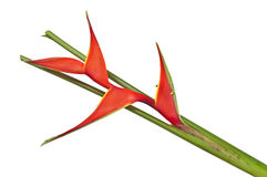 Heliconia. On a white background Stock Photo