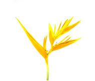 Heliconia Stock Photos