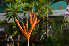 Heliconia'Golden Torch' Stock Photos