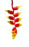 Heliconia zwrotników kwiat Zdjęcia Stock