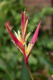 HELICONIACEAE, Heliconia spathoircinata     Aristeguieta cv. Złoto Fotografia Stock